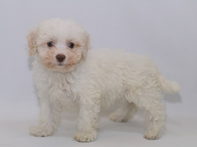 Bichon Frise-DOG-Male-White-2370053-My Next Puppy