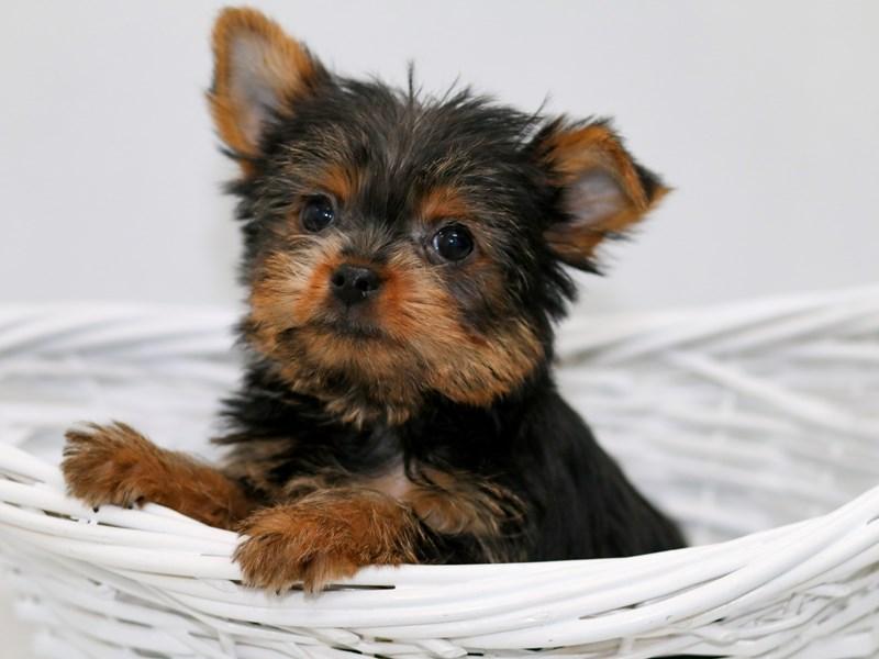 Yorkshire Terrier-Female-BLK & TN-2368789-My Next Puppy