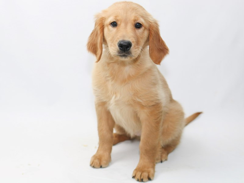 Golden Retriever-Female-Golden-2370051-My Next Puppy