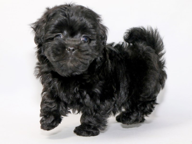 Shihpoo-Female-BLK-2373239-My Next Puppy
