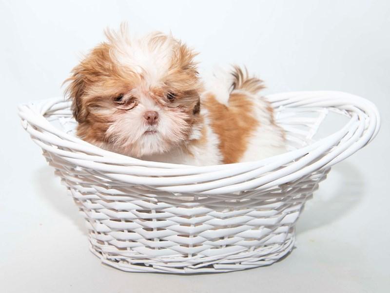 Shih Tzu-Male-Red / White-2335506-My Next Puppy