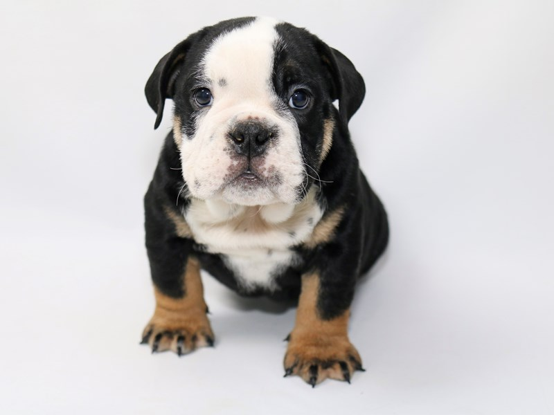 English Bulldog-Male-BLK FN & WH-2373243-My Next Puppy