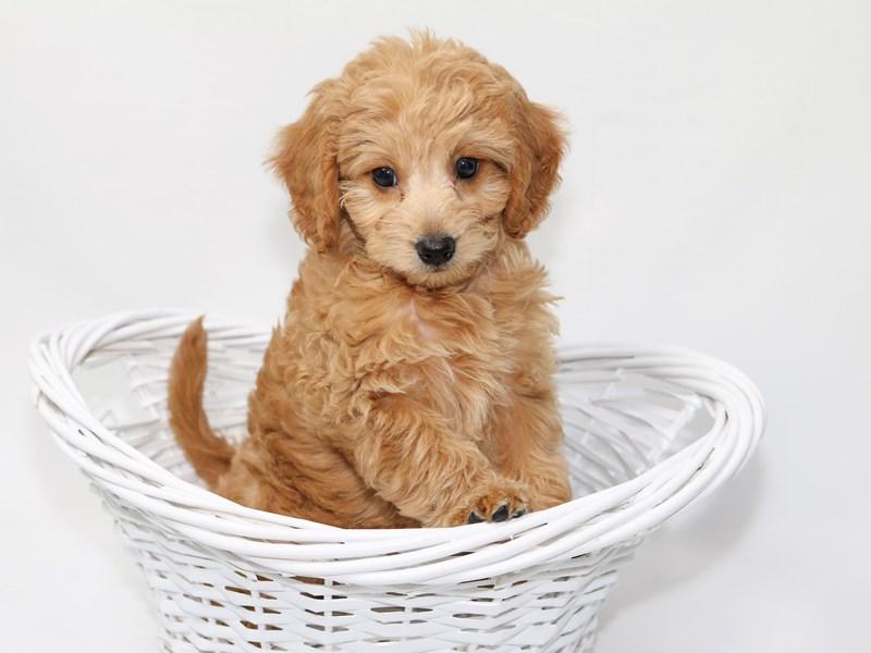2nd Generation Mini Goldendoodle – Caleb
