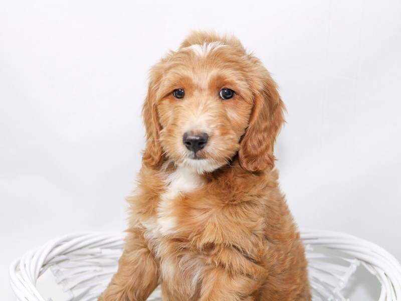 2nd Generation Mini Goldendoodle – Tucker