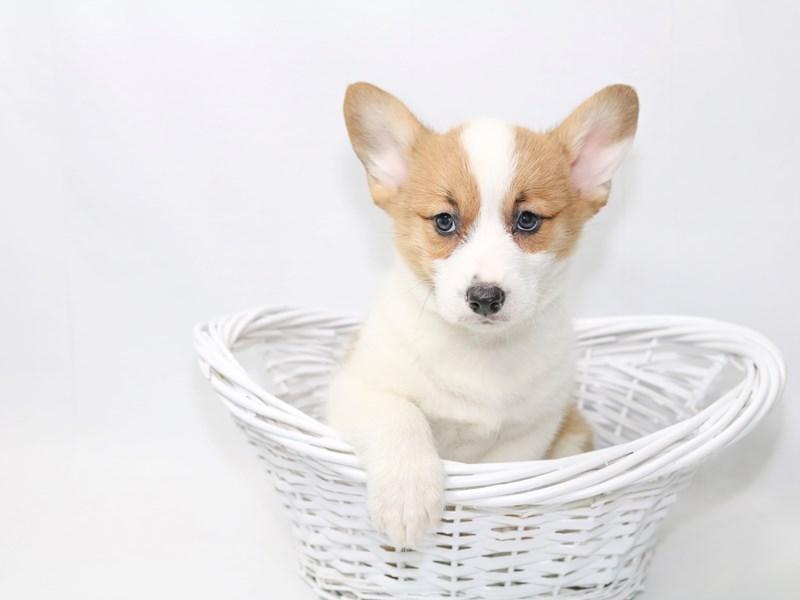 Pembroke Welsh Corgi-Male-Red-2374086-My Next Puppy