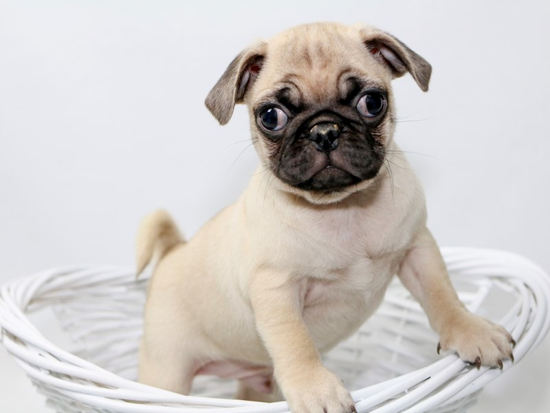 Pug-Male-FN-2373240-My Next Puppy