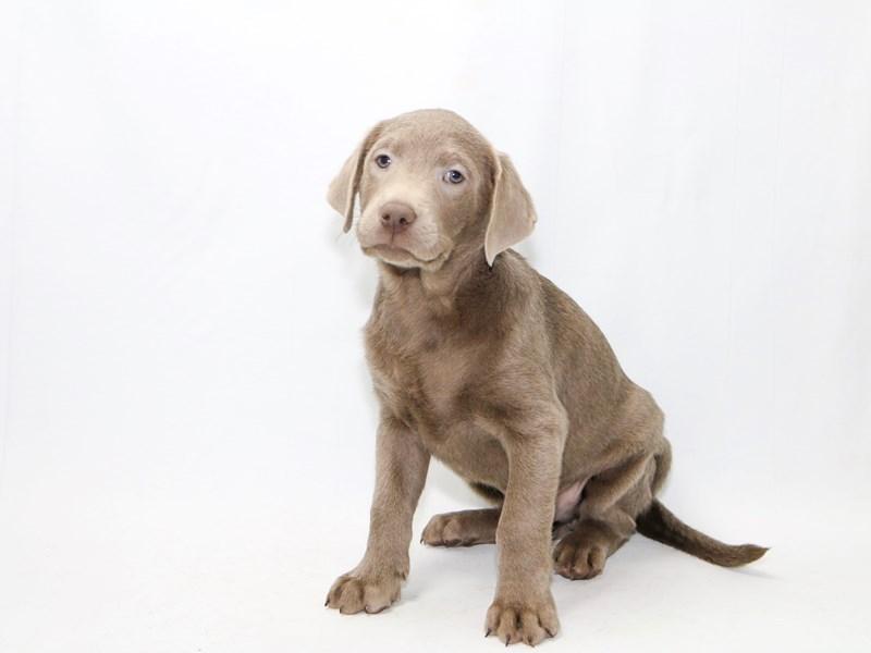 Labrador Retriever-Male-Silver-2379287-My Next Puppy