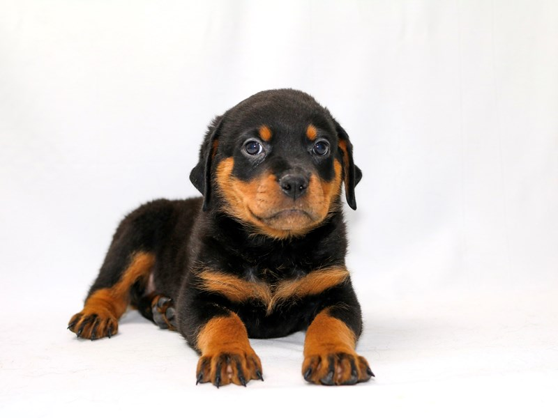 Rottweiler-Female-Black / Tan-2379289-My Next Puppy