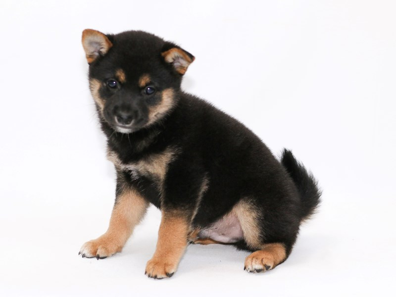 Shiba Inu-Male-Black / Tan-2379292-My Next Puppy