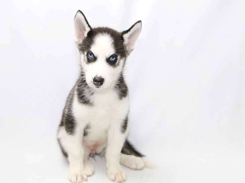 Siberian Husky-Female-BLK & WH-2380408-My Next Puppy