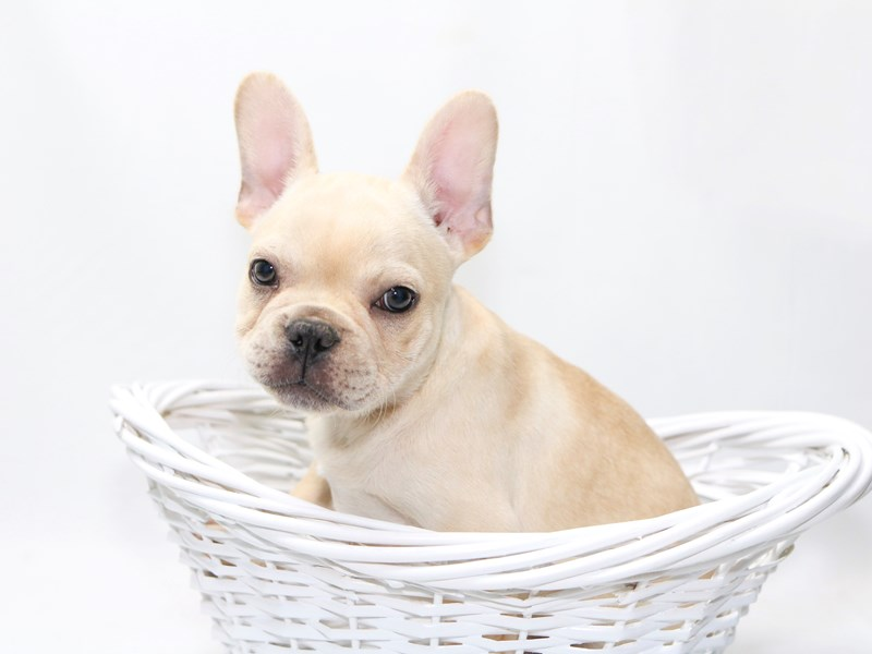 French Bulldog – Otis