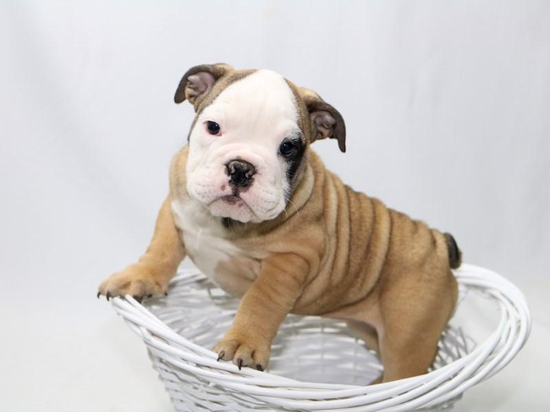 English Bulldog-Female-FN:WH MKGS-2380410-My Next Puppy