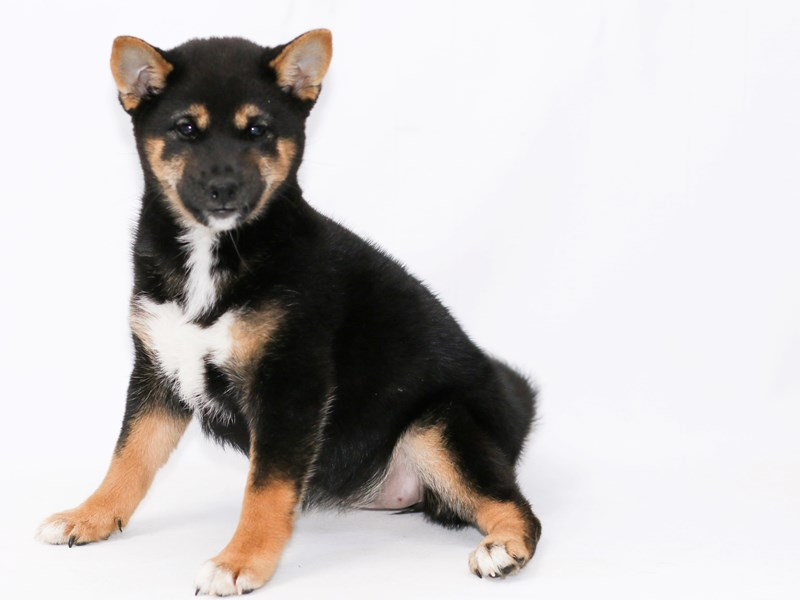 Shiba Inu-Female-Black White & Tan-2374618-My Next Puppy