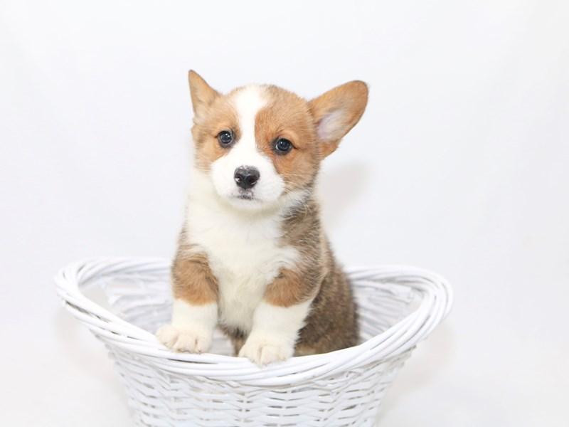Pembroke Welsh Corgi-Male-Red-2388289-My Next Puppy