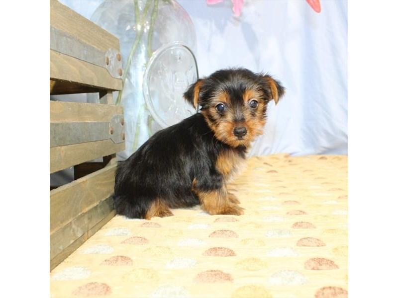 Yorkshire Terrier-Female-Black / Tan-2357014-My Next Puppy
