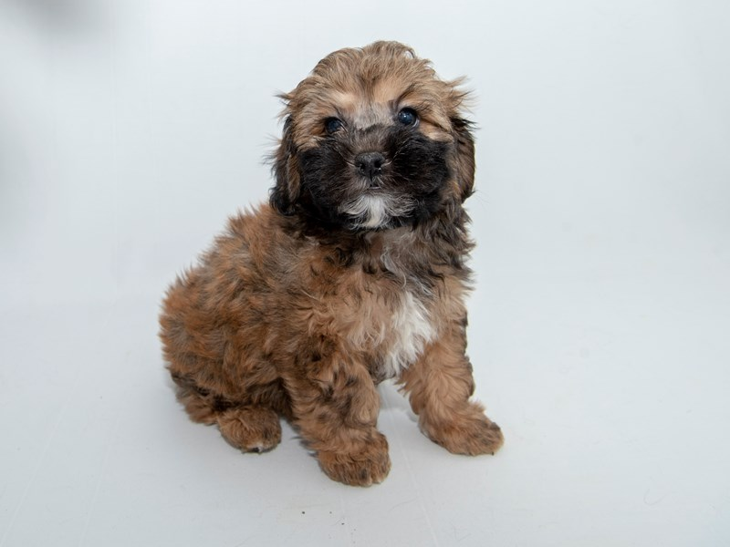 Shihpoo-Male-Chocoloate-2364528-My Next Puppy