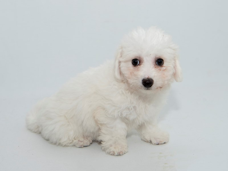 Bichon Frise-Female-white-2364533-My Next Puppy