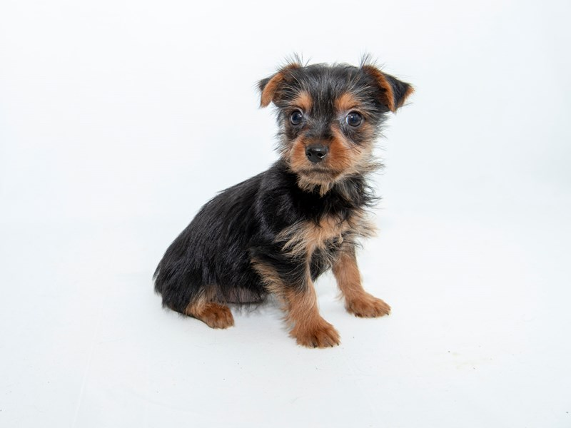 Yorkshire Terrier – Lyle