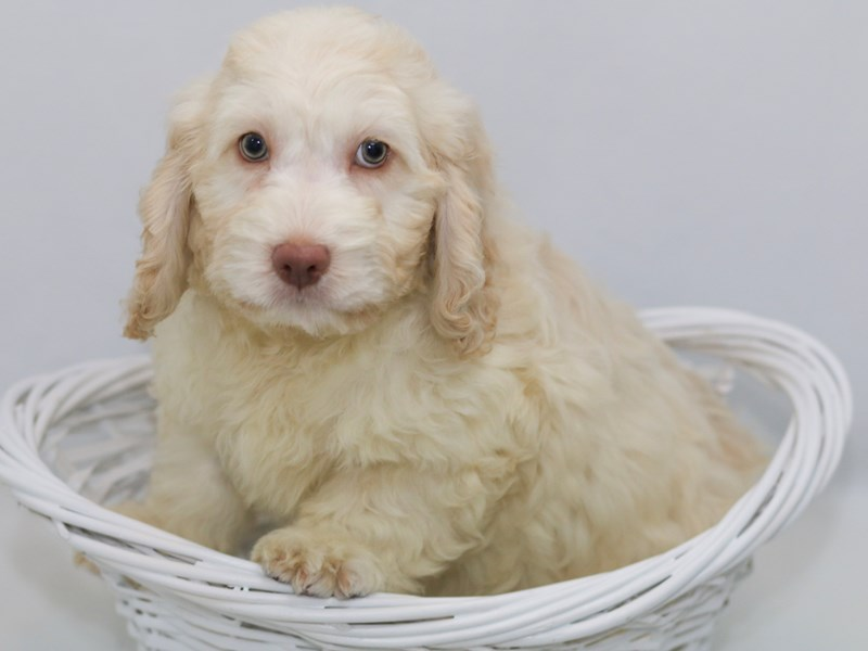 Cockapoo-Male-CR-2368787-My Next Puppy