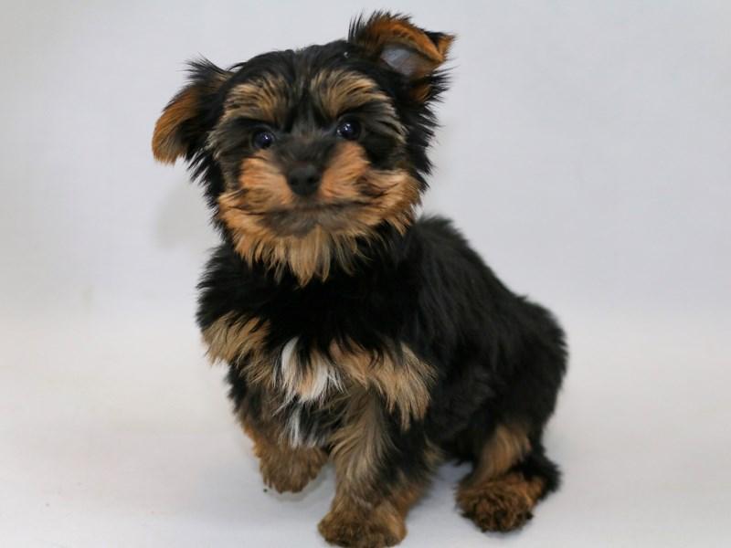 Yorkshire Terrier-Male-BLK & TN-2368792-My Next Puppy