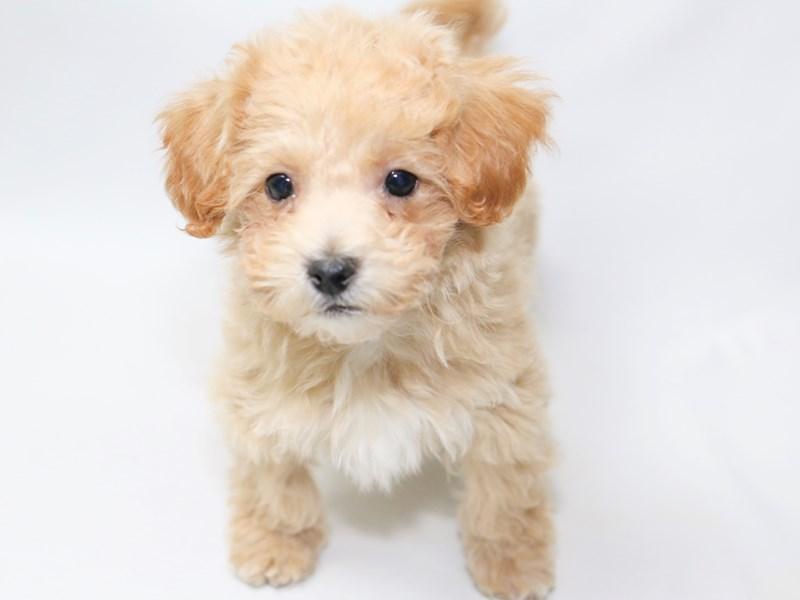 Poochon-Male-Tan-2376022-My Next Puppy