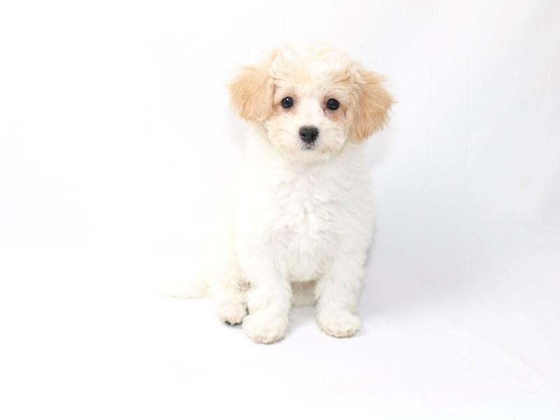 Poochon-Female-Tan-White-2376023-My Next Puppy