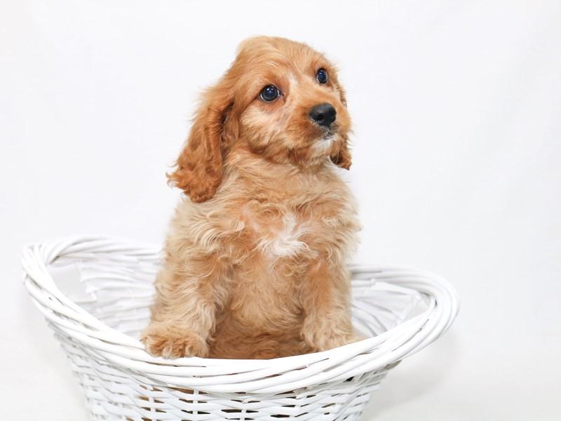 Mini Cavapoo-Male-Ruby-2388279-My Next Puppy