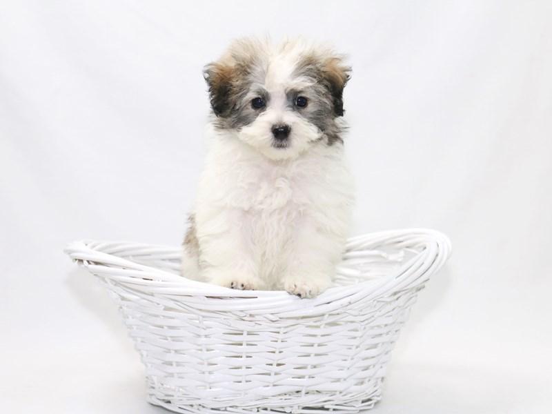 Maltipoo-Female-White / Gold-2388280-My Next Puppy