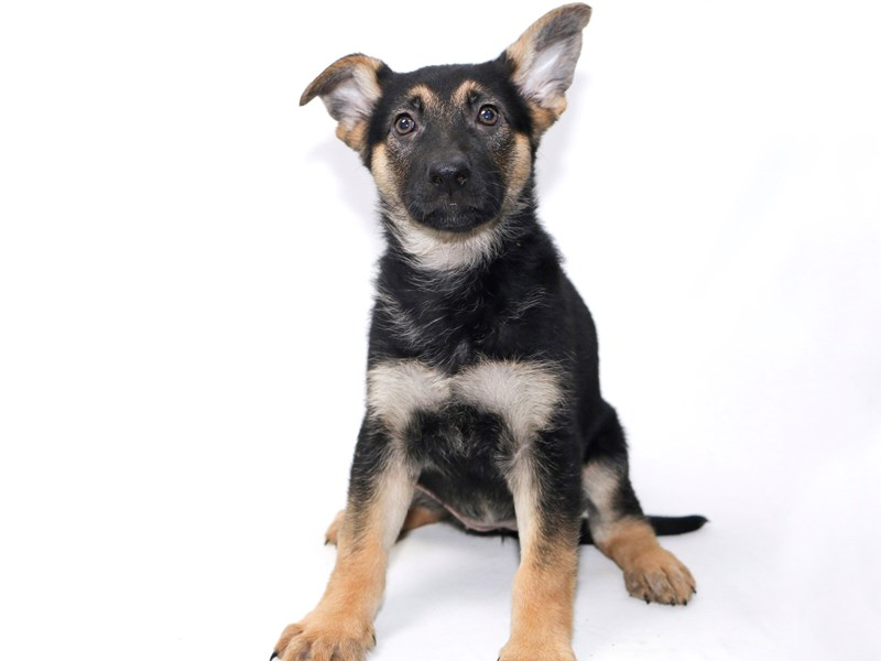 German Shepherd-Female-Black / Tan-2388285-My Next Puppy