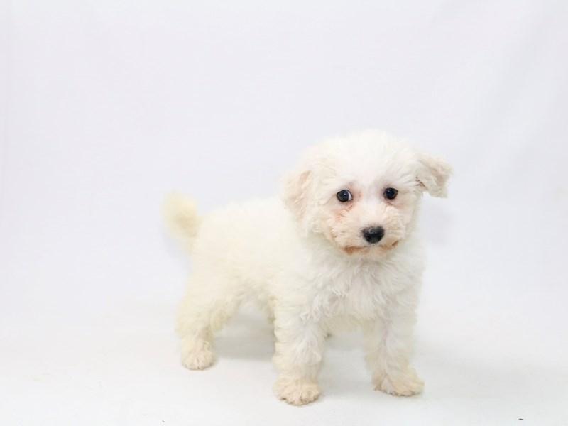 Bichon Frise-Female-White-2388290-My Next Puppy