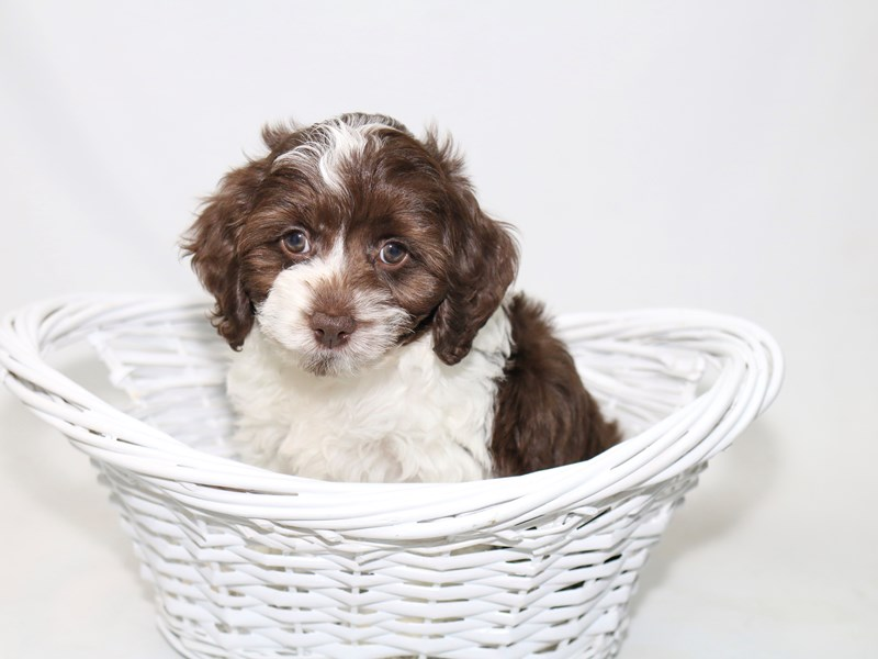 Mini Cockapoo-Male-White / Chocolate-2388312-My Next Puppy