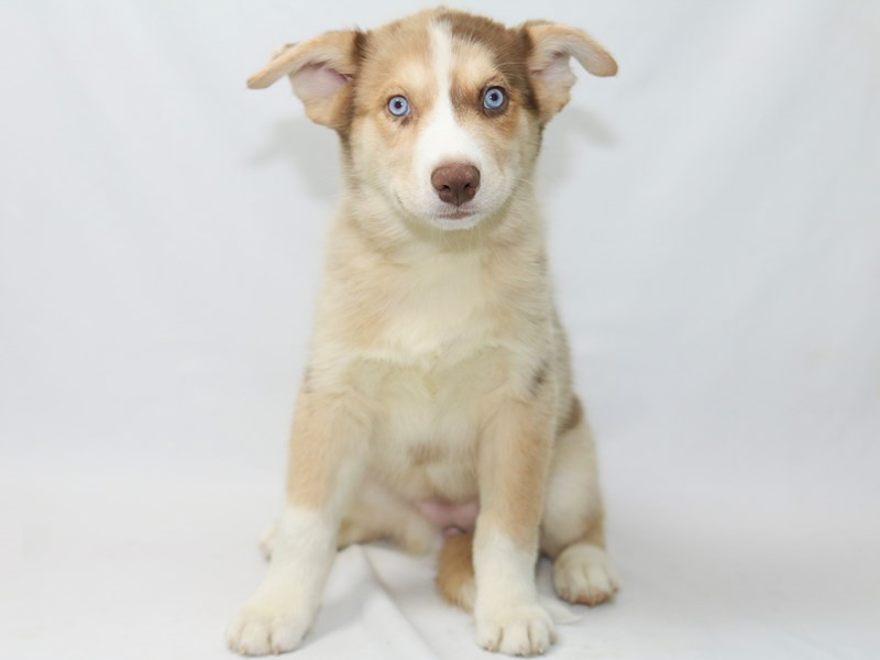 Aussie Siberian-Female-Red Merle-2388281-My Next Puppy