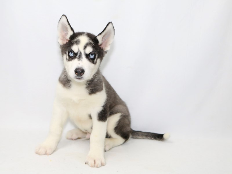 Siberian Husky – Neo