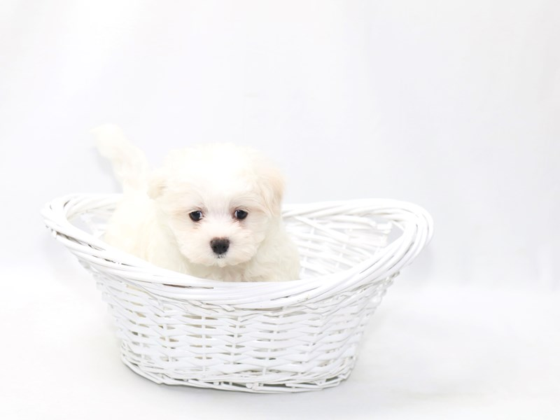 Maltese-Male-WH-2391666-My Next Puppy