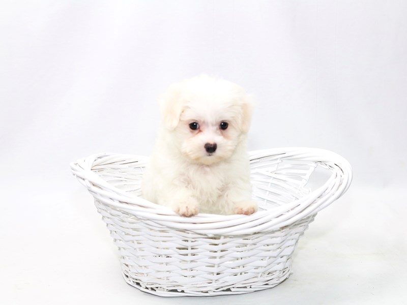 Maltese-Female-WH-2391667-My Next Puppy