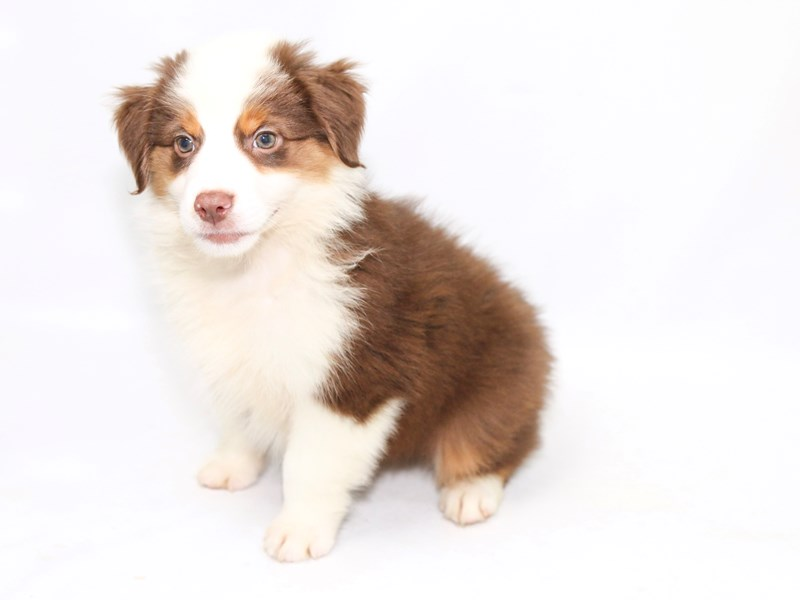 Mini Australian Shepherd-Male-RD:WH MKGS TAN PTS-2391668-My Next Puppy