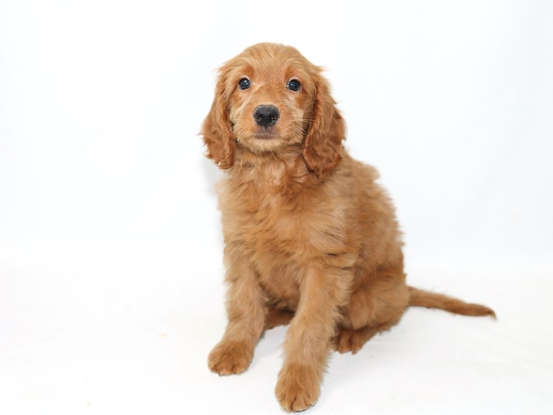 Goldendoodle-Male-RD-2391764-My Next Puppy