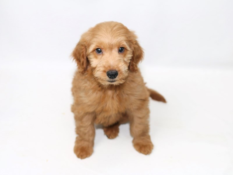 Goldendoodle-Male-RD-2391765-My Next Puppy