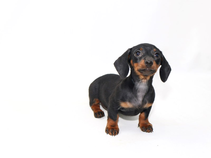 Dachshund-Female-Chocolate / Tan-2392181-My Next Puppy