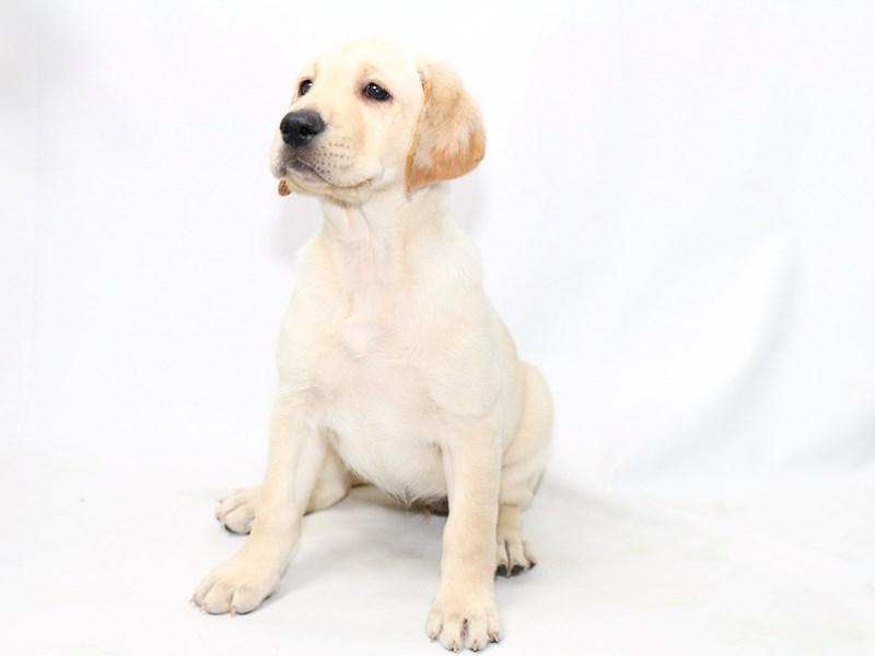 Labrador Retriever – Blossom