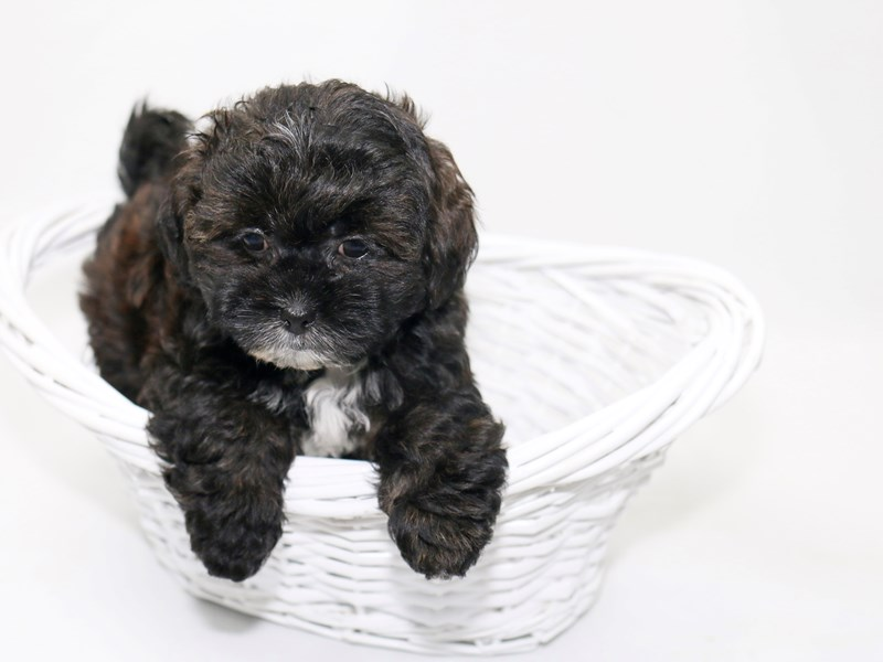 Poodle/Shih Tzu-Female-Brindle-2392187-My Next Puppy