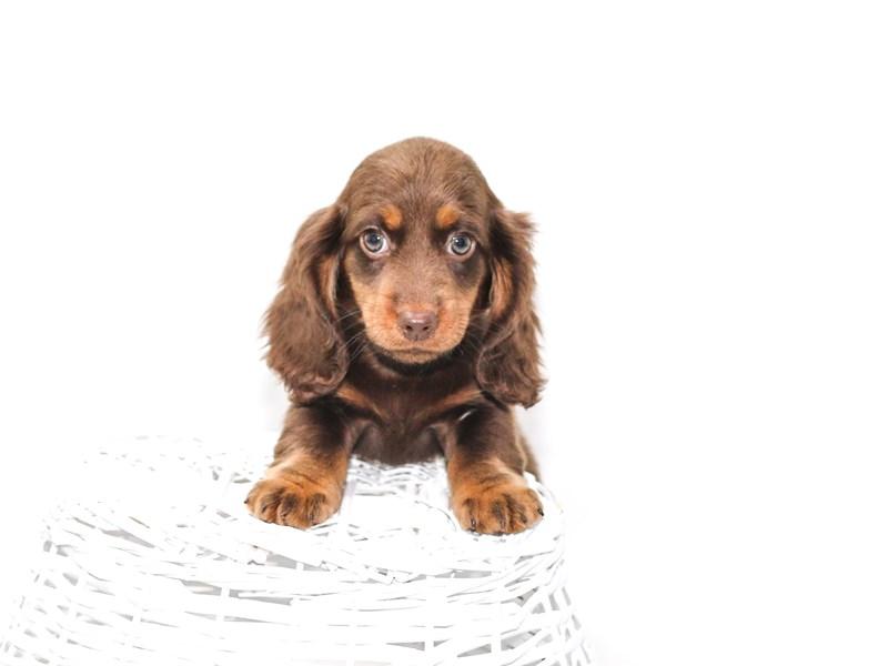 Dachshund-Female-Black / Tan-2392192-My Next Puppy