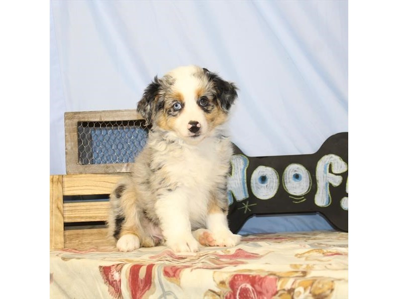 Australian Shepherd-Female-Blue Merle-2397082-My Next Puppy