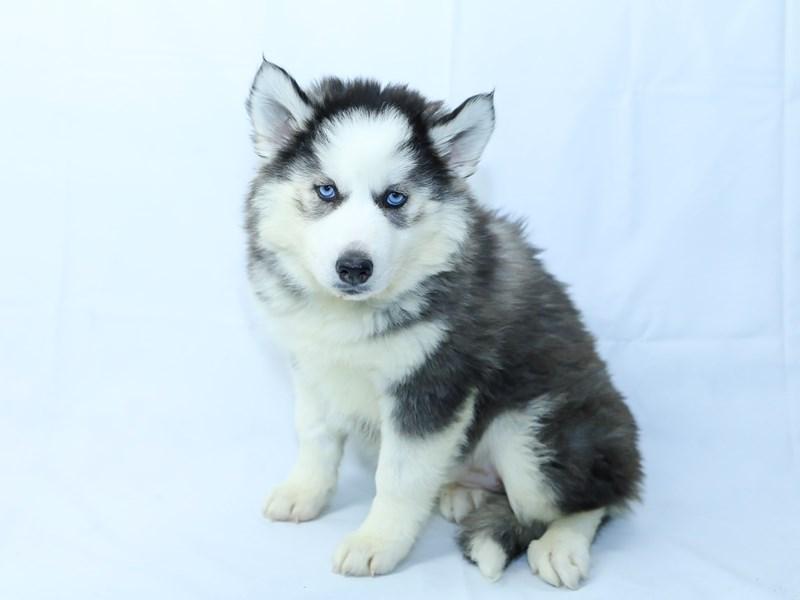 Siberian Husky-Female-Black/White-2405820-My Next Puppy