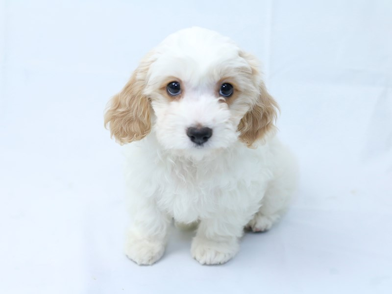 Cavachon-Female-White/Tan-2405848-My Next Puppy