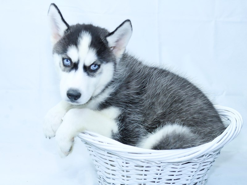 Siberian Husky-Male-BLK & WH-2396977-My Next Puppy