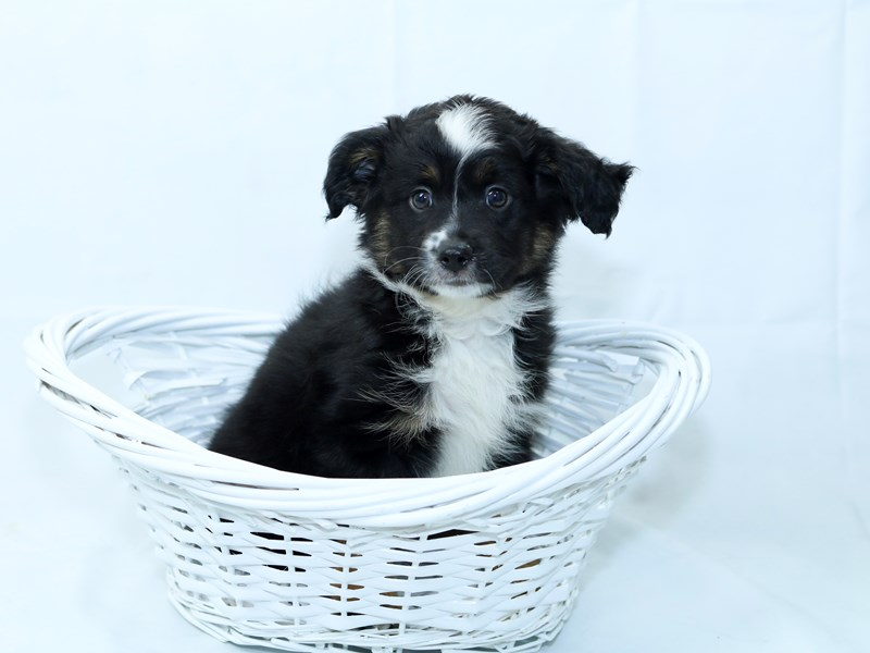 Australian Shepherd-Male-Black-2403431-My Next Puppy