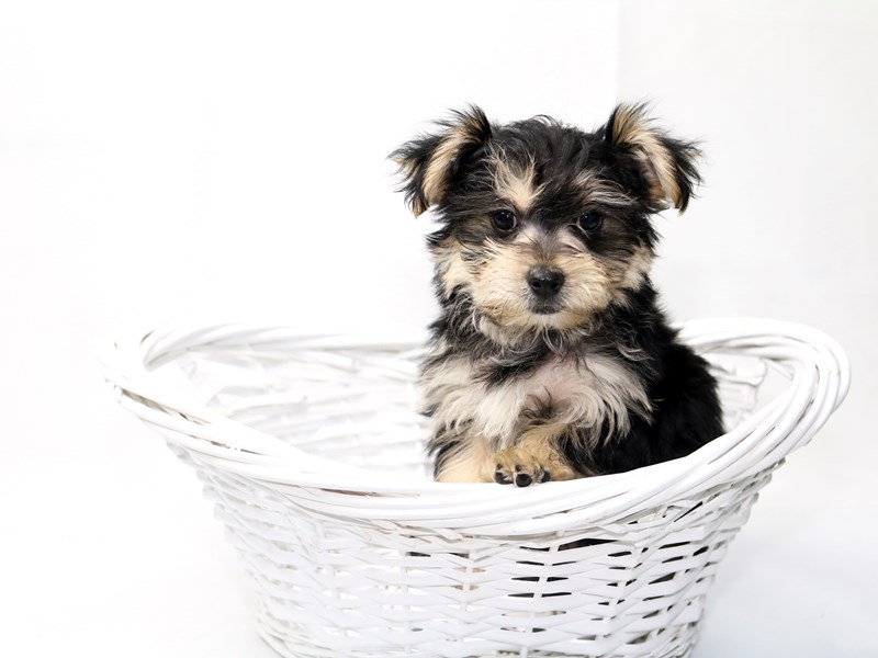 Morkie-Male-Black / Tan-2410641-My Next Puppy