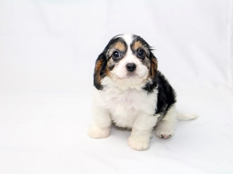 Toy Cavapoo-Male-White Black / Tan-2410660-My Next Puppy