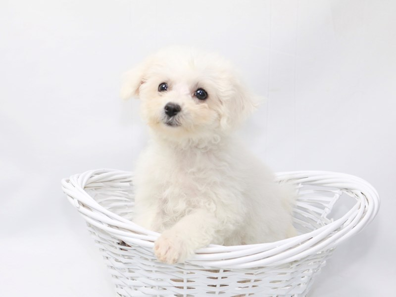 Bichon Frise-Female-White-2376019-My Next Puppy